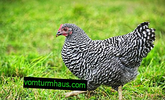 Plymutrok chicken breed: description, maintenance and care at home