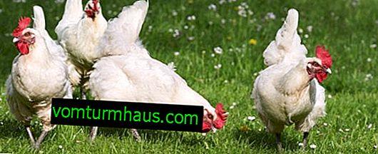 Hvordan manifesterer pasteurellose hos kyllinger: behandlings- og forebyggelsesmetoder