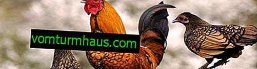Croissance sur les pattes de poulet: causes et méthodes de traitement