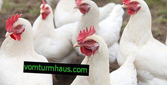 Description et caractéristiques de poulets Loman White