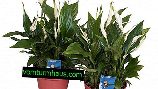 Spathiphyllum Cupido: häusliche Pflege für die Pflanze