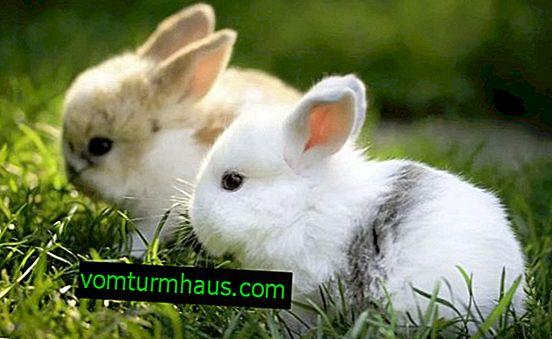 Kan kaniner fodres majs: fordele og skader