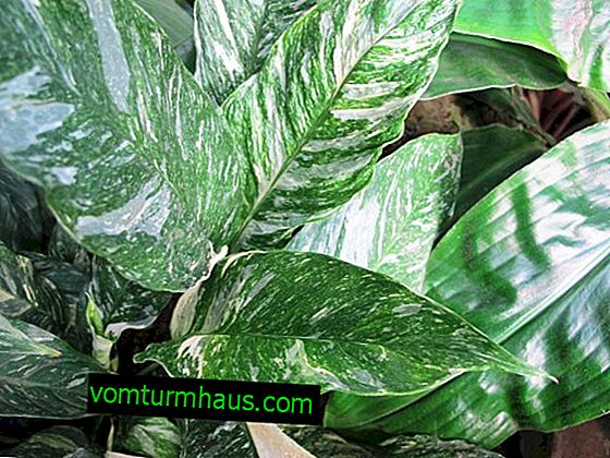 Spathiphyllum Domino: home care of the plant