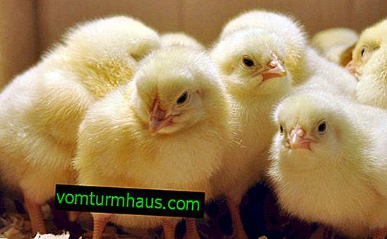 """Instruktioner til brug af medikamentet """"Baykoks"""" til kyllinger"""