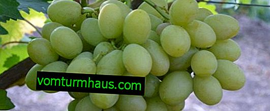 Syndykat odmian winogron: charakterystyka, uprawa i pielęgnacja