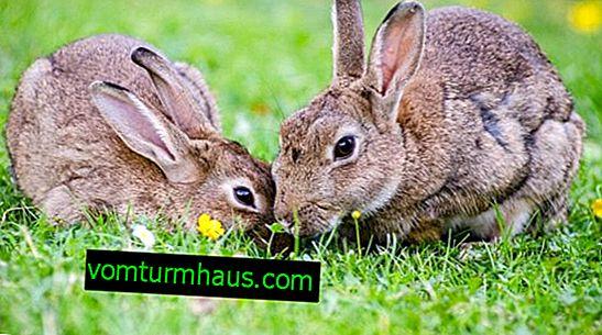 Kako uzgajati zečeve u jami