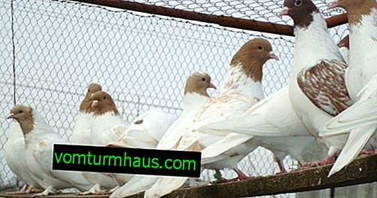 Appearance and features of Iranian pigeons