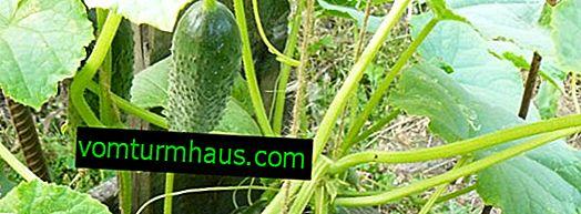 Popis odrůdy okurek Prst, zejména pěstování a péče