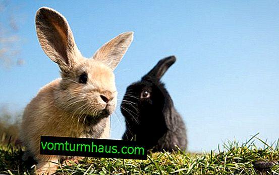 Hur man behandlar sår hos kaniner i öronen