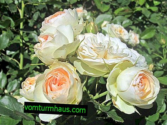Description and description of roses Pastella