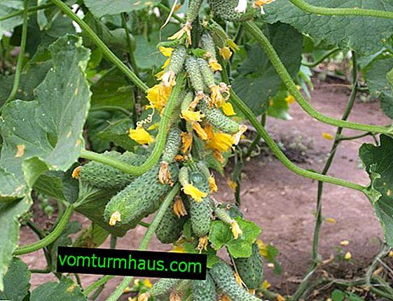 Descrição da variedade de pepinos Garland e características de seu cultivo