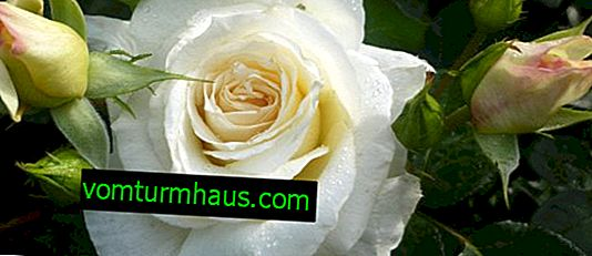 Characteristics of roses Schneewalzer, rules for planting and care