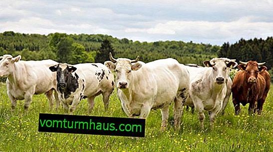 Kako zdraviti brucelozo pri kravi