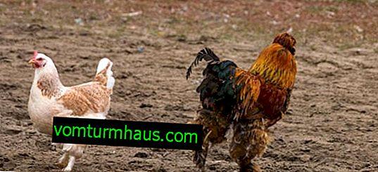 Кохинхин (порода курей): опис, особливості розведення в домашніх умовах