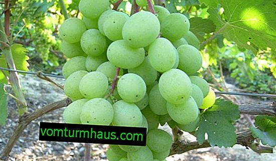 Raisins Alex: caractéristiques et description de la variété, plantation et entretien
