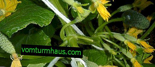 Описание на сорта краставици Завист, отглеждане и засаждане