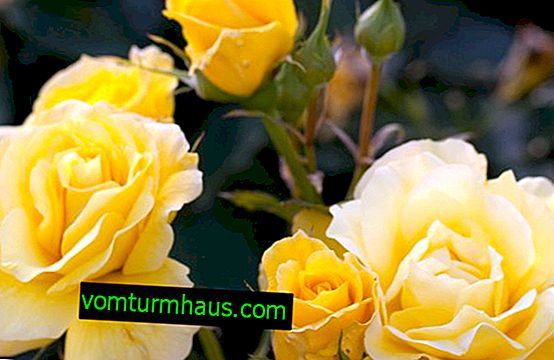 Features of growing Freesia roses