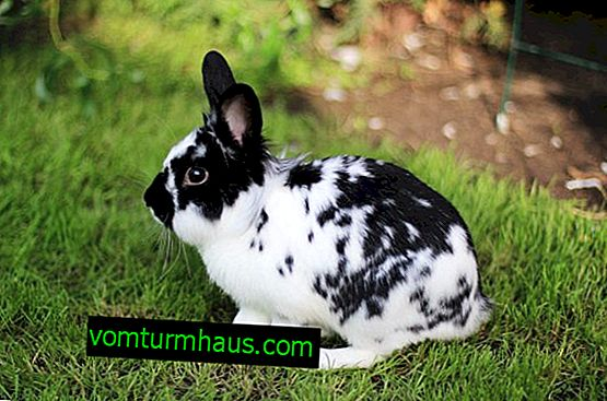 Rabbit breed Butterfly: characteristics and description, how to breed and care for the breed