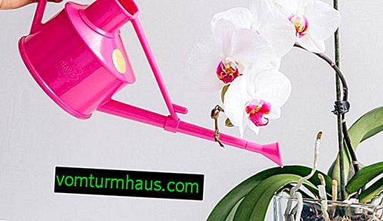 Funktioner ved vanding af orkideer efter transplantation derhjemme