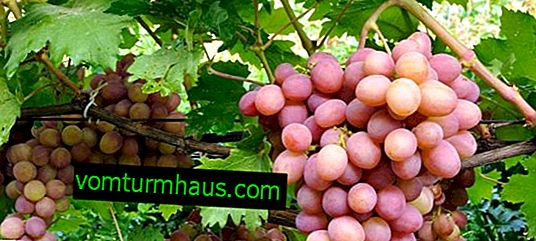Beskrivning Gursufsky rosa druvsort