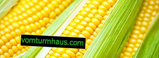 Popis a vlastnosti pěstovaných odrůd kukuřice Krasnodar