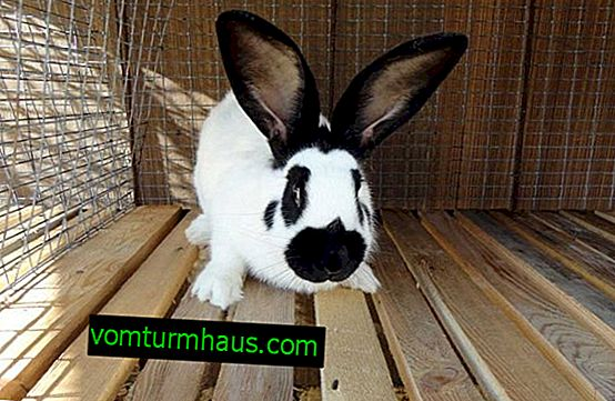 Rabbit of a linebreaker breed: description and characterization, content features