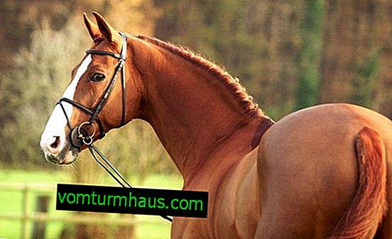 Značilnosti hanoverske pasme konj