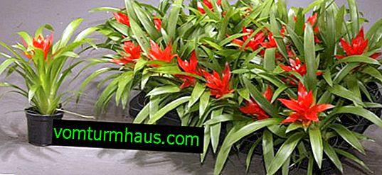 Guzmania cvet Minor Rondo: opis, nega na domu