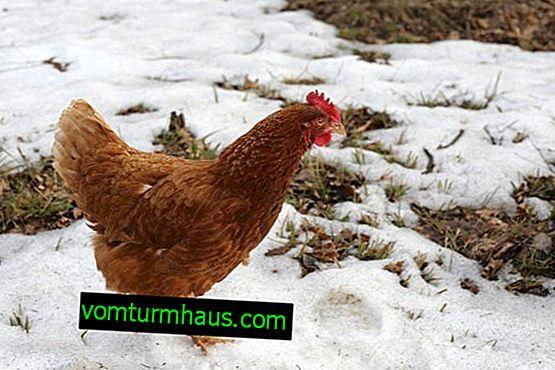 Características de mantener, cuidar y alimentar pollos en invierno