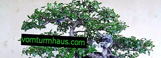Merkmale der Pflege und Fortpflanzung der Myrte Myrte