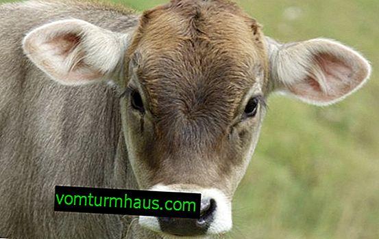 Krava pasme Kostroma: opis, nega in krmljenje