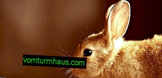 Varför äter och dricker kaninen ingenting?
