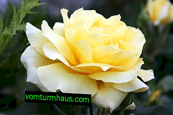 Description and description of the Landora rose, especially its growing