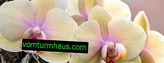 Как да си направите оранжерия за орхидея без корени у дома