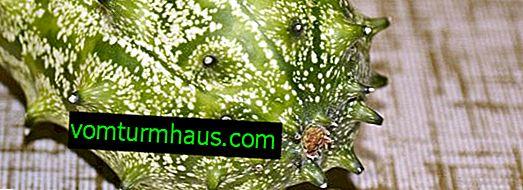 Gurka Anguria Antilsky: beskrivning av sorten, hur man växer och vårdar