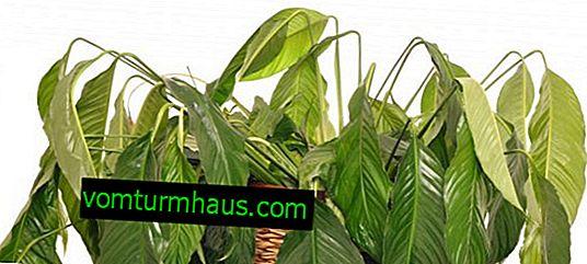 Varför bleknar spathiphyllum, och vad ska jag göra?