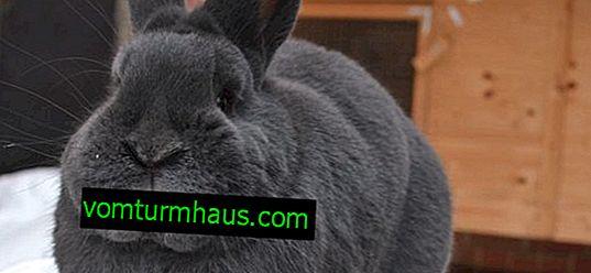 Wiens blå kaniner: beskrivning och beskrivning