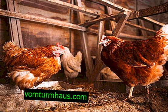 Can laying hens be given bread?