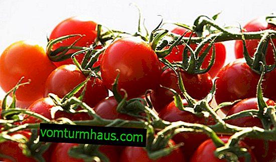 Cherry rajčata: zdravotní přínosy a poškození, denní příjem