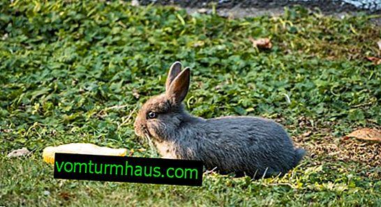 Os coelhos são alimentados com abobrinha?