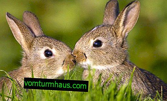 I hvilken alder er kaniner parate til at parre sig?