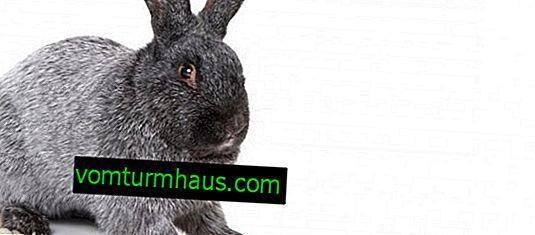 Кролики породи полтавське срібло: розведення і утримання в домашніх умовах