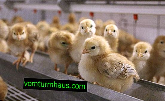 Pienso compuesto para pollos: cómo hacerlo usted mismo y cómo elegir reglas básicas y preparadas para la alimentación