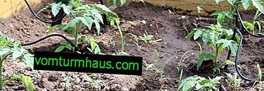 Hur man gör automatisk droppbevattning för ett växthus