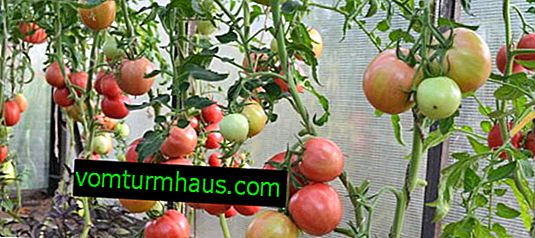 Kaj paradižnik posaditi na Uralu v rastlinjaku