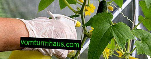 Лечение на краставици от заболявания с народни средства