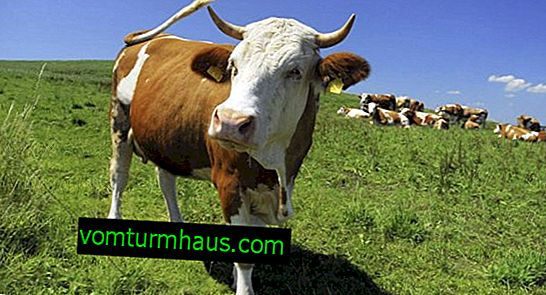 Tuberculosis in cows: symptoms and treatment