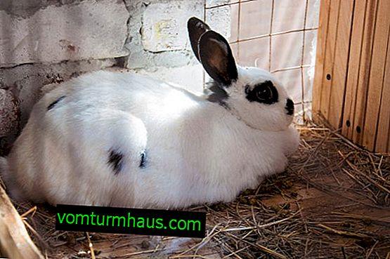 Cómo determinar que una coneja está embarazada