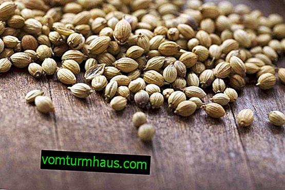Jaké jsou výhody semen koriandru pro lidské tělo?