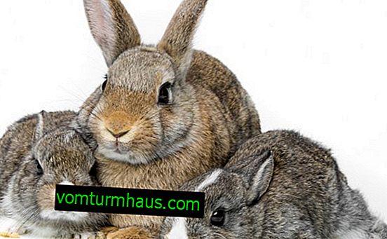 Gravidanza nei conigli